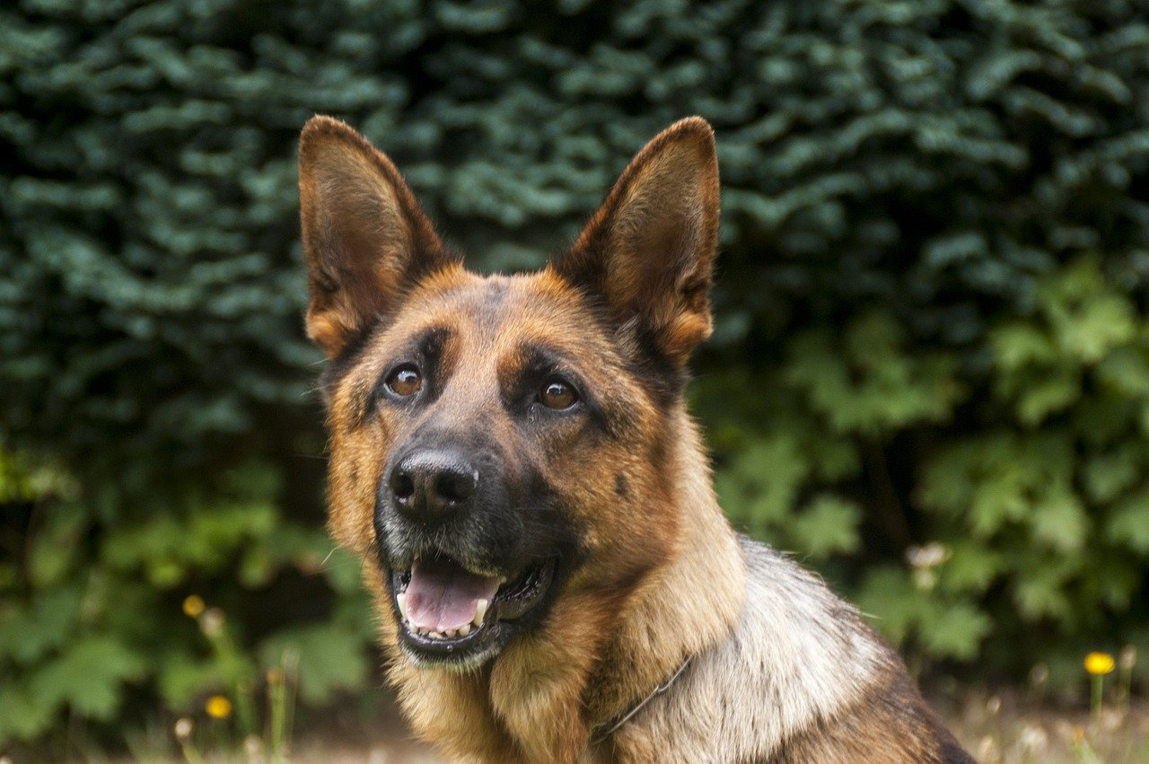 Police Dogs - Different Police Breeds - Different Applications