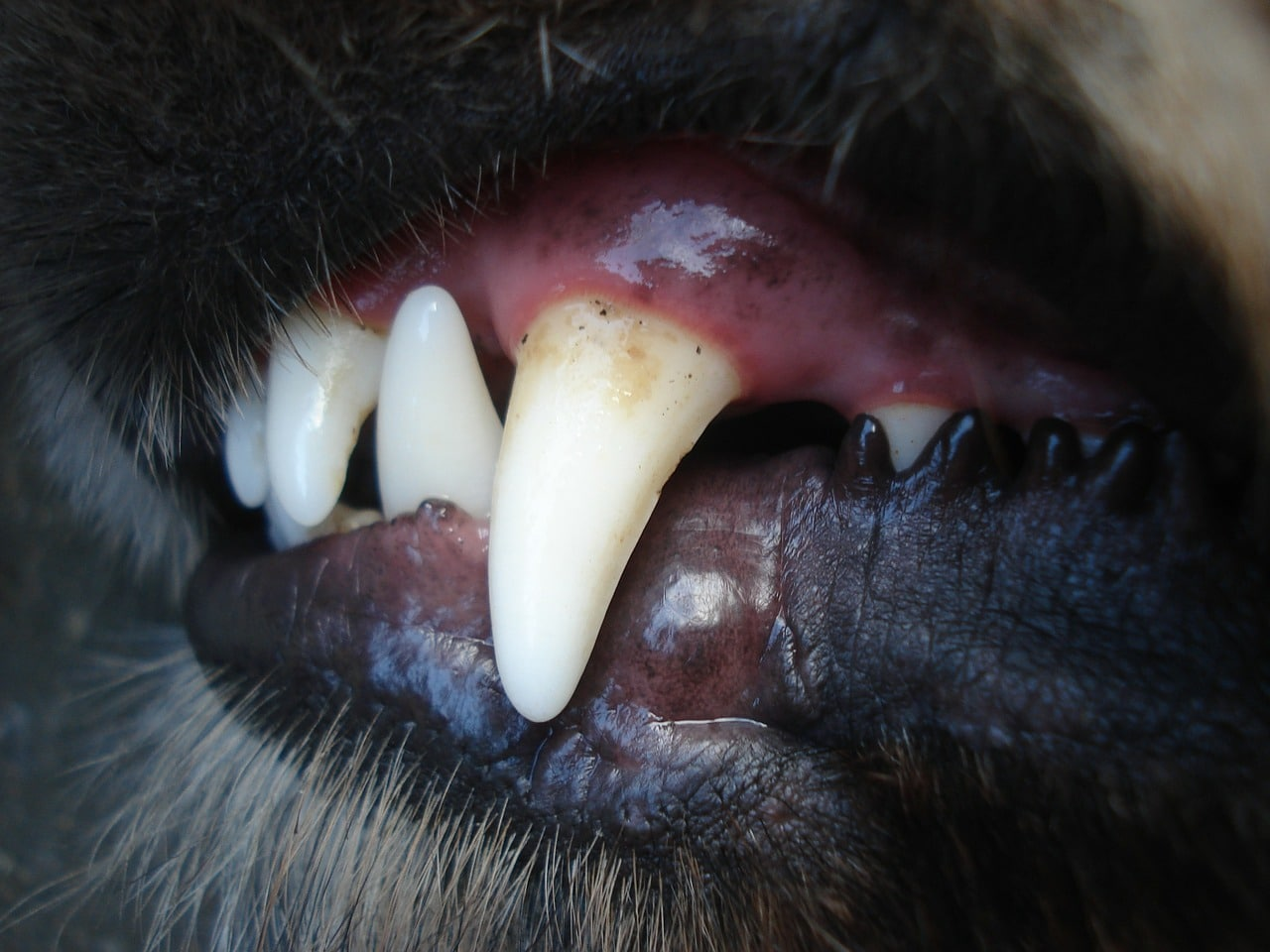 dogs, baring, tooth